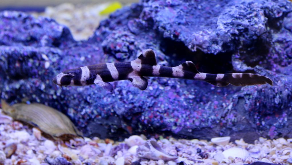 Requin bambou © MNHN