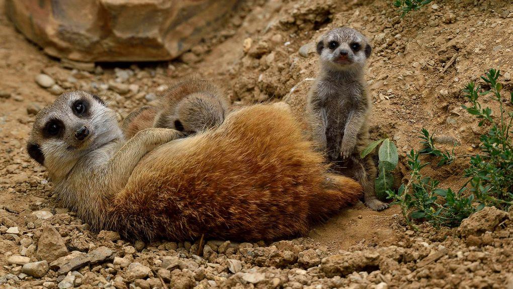 Un suricate couché avec ses petits © MNHN - F.G. Grandin