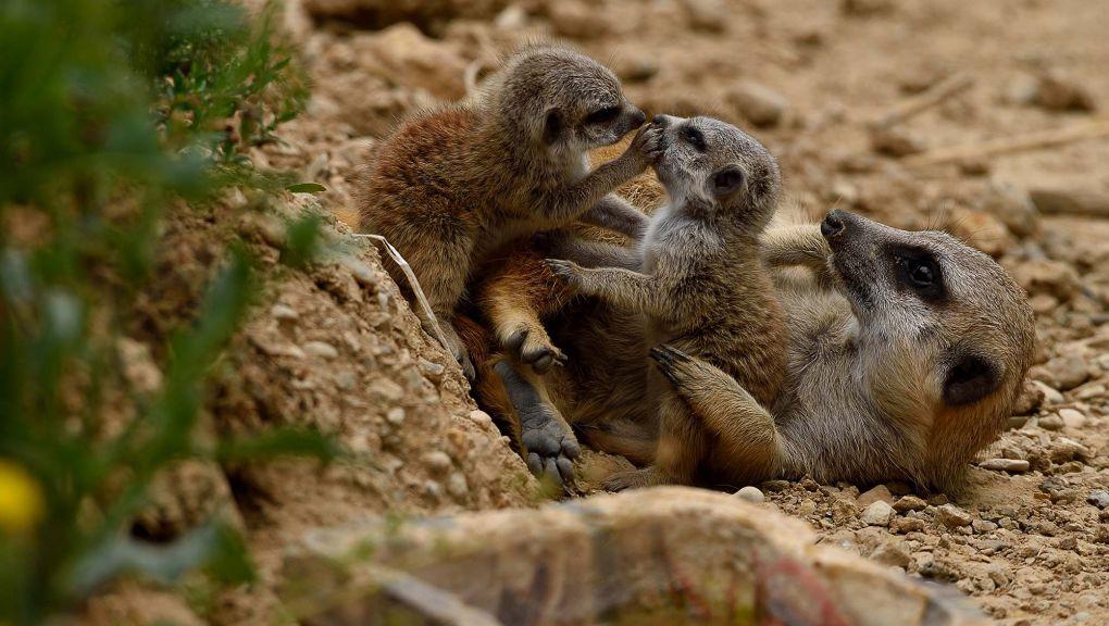 Un suricate et deux de ses petits © MNHN - F.G. Grandin