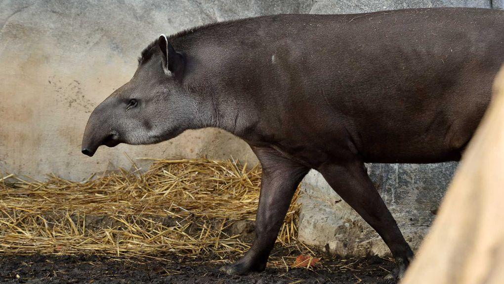 Tapir terrestre © MNHN - F.-G. Grandin
