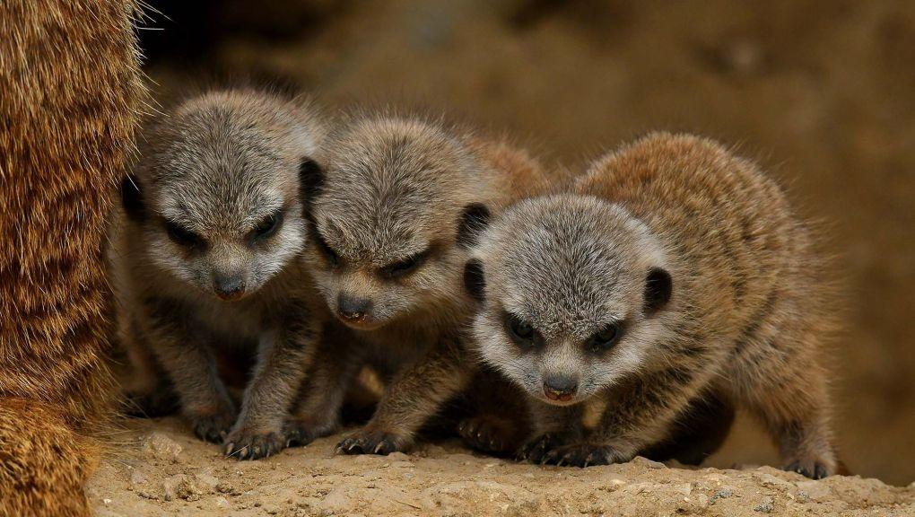 Trois petits suricates © MNHN - F.G. Grandin