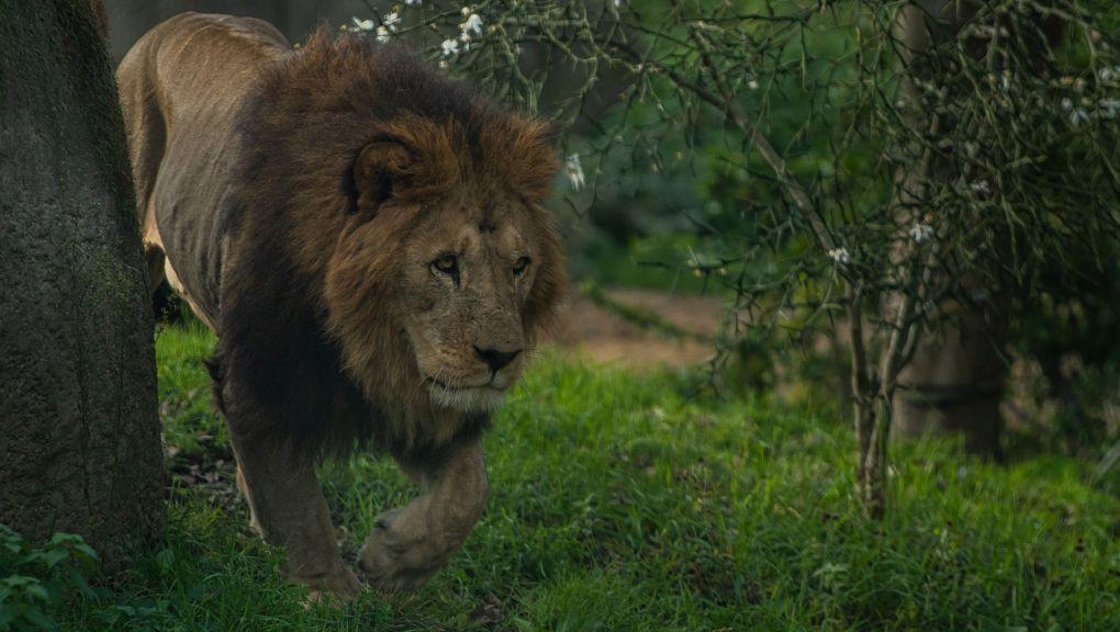 Volcan le nouveau lion de l'Atlas © MNHN F-G Grandin