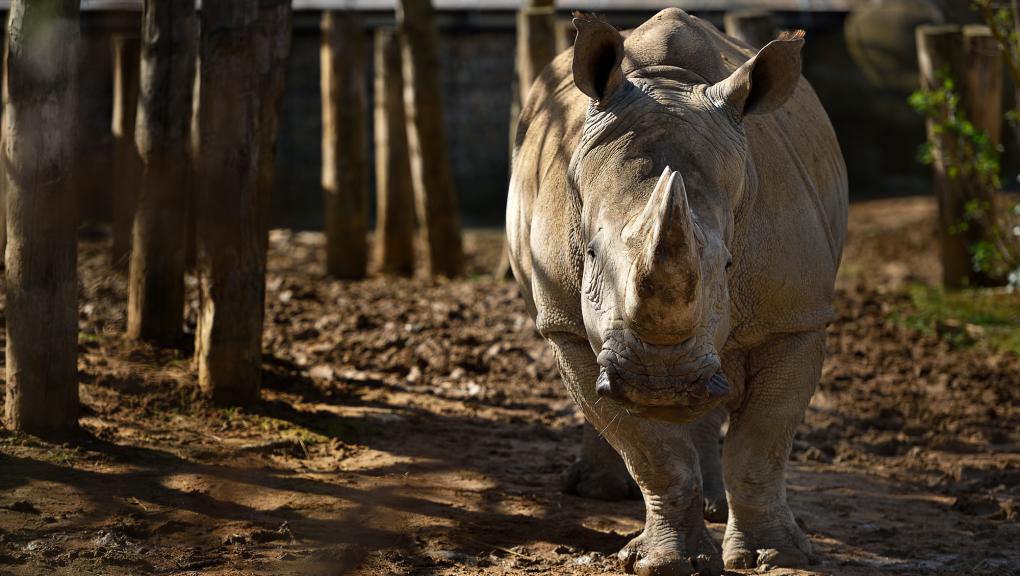 Rhinocéros blanc © MNHN – F-G. Grandin