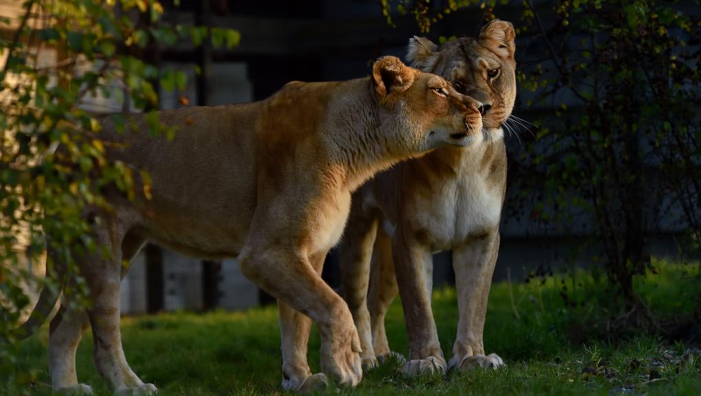 Lions d'Afrique © MNHN – F-G. Grandin