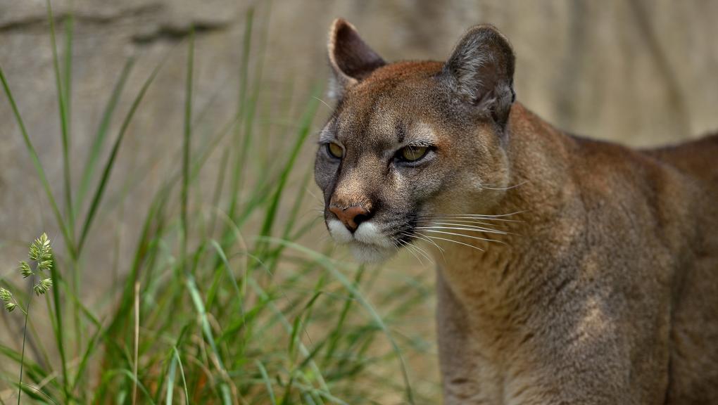 Puma © MNHN – F-G. Grandin
