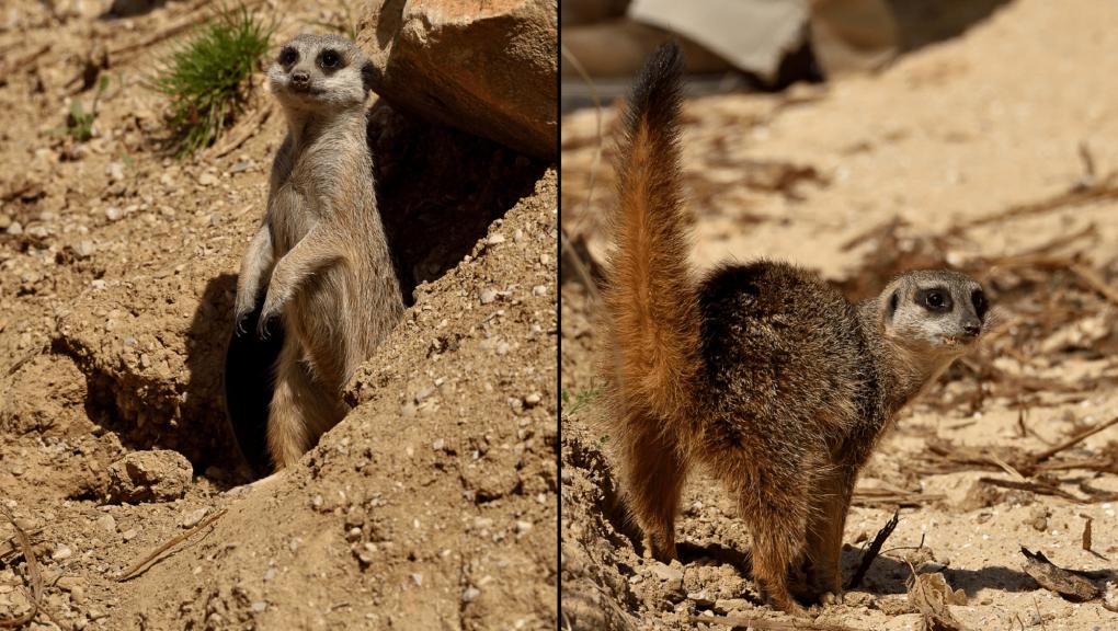 suricates © MNHN F.G Grandin