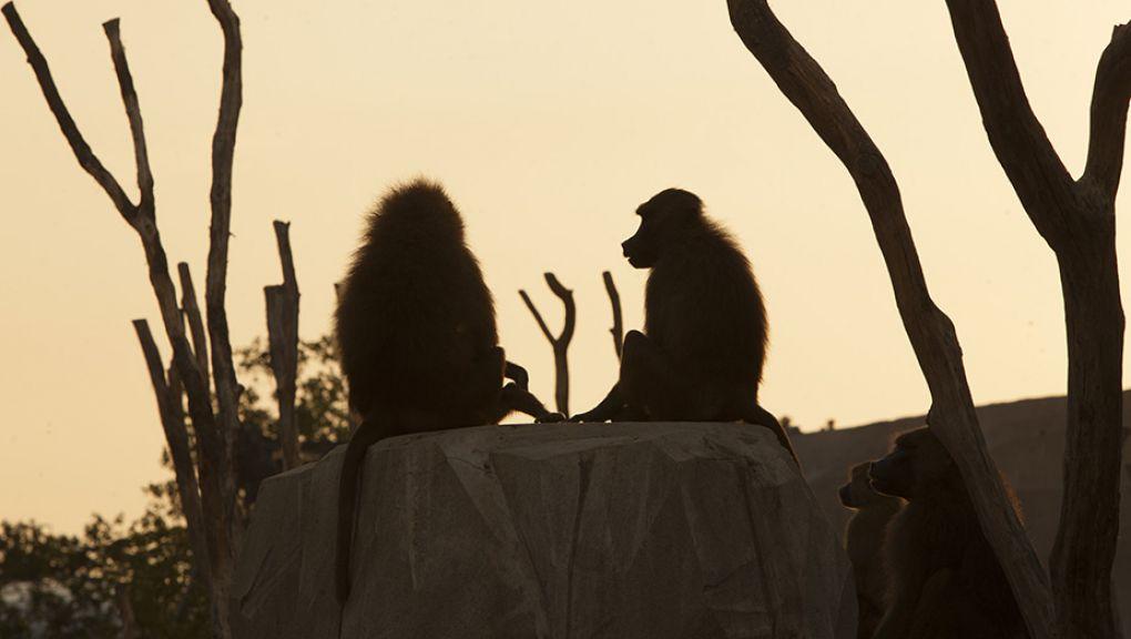 Babouins au Parc Zoologique de Paris, au coucher du soleil © Théo Stefanini