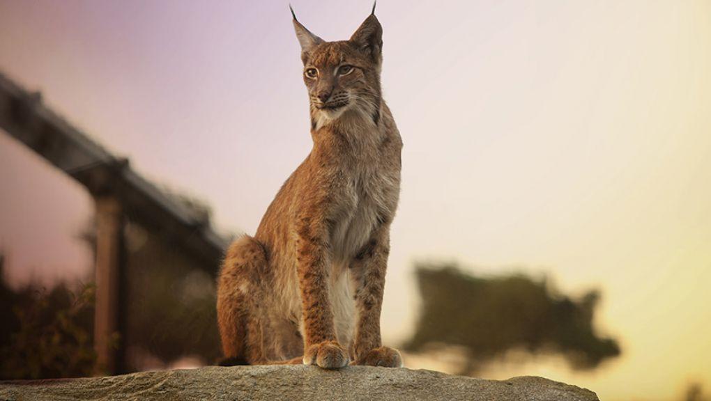 Lynx au coucher du soleil © Théo Stefanini