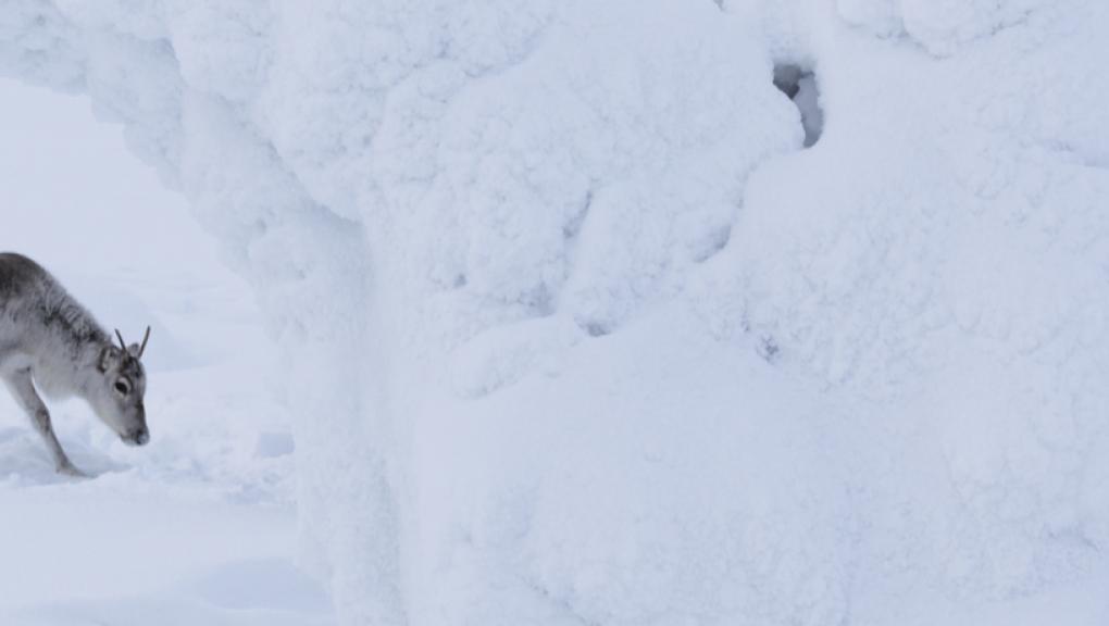 Aïlo : une odyssée en Laponie © Marko Juntilla