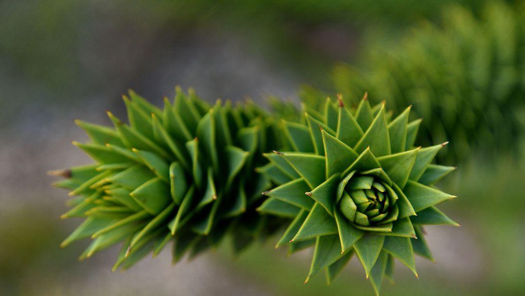 Araucaria araucana pin du Chili appelé aussi Désespoir des singes © MNHN - F.-G. Grandin
