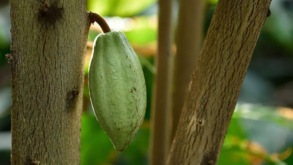 Cacaoyer © MNHN - F.-G. Grandin