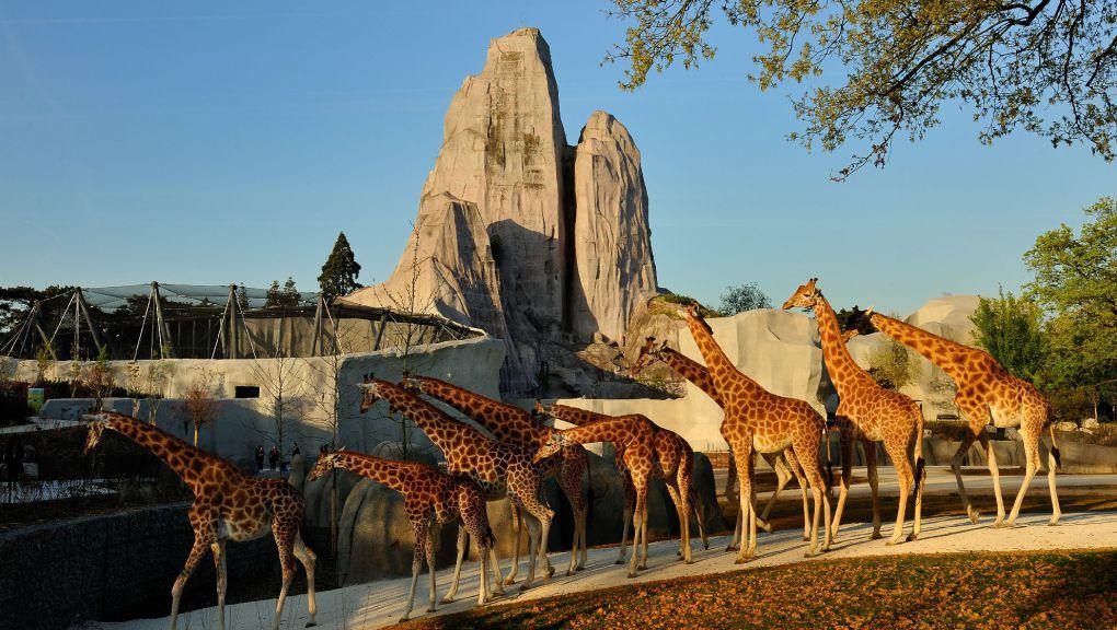 Le groupe de girafe du parc.  s