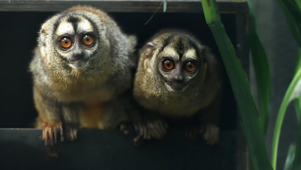 Deux douroucoulis © MNHN - F.G. Grandin