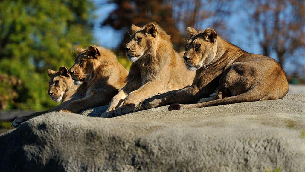Aswad et ses lionceaux © F-G Grandin - MNHN