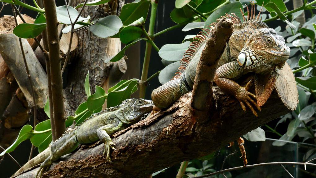 Iguanes © MNHN - F.G. Grandin