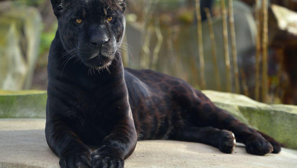 Aramis, le mâle jaguar © MNHN - F-G  Grandin