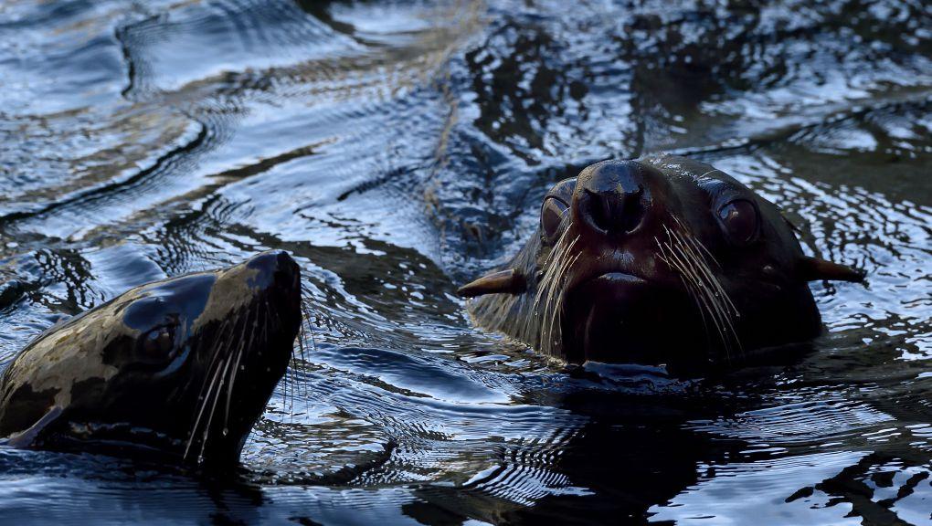 Otaries à fourrure australe © MNHN - François Grandin