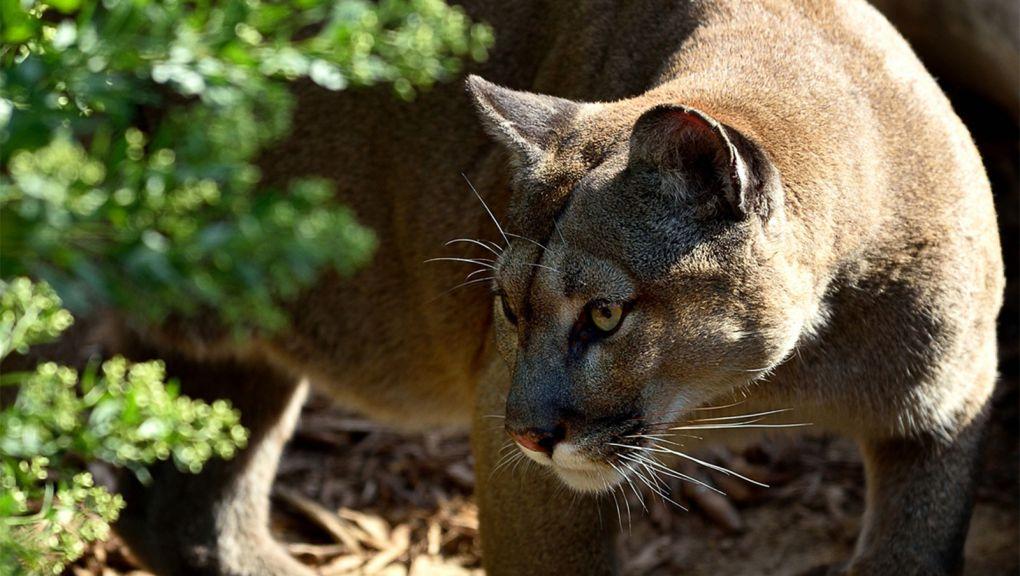 Puma © MNHN - F-G Grandin