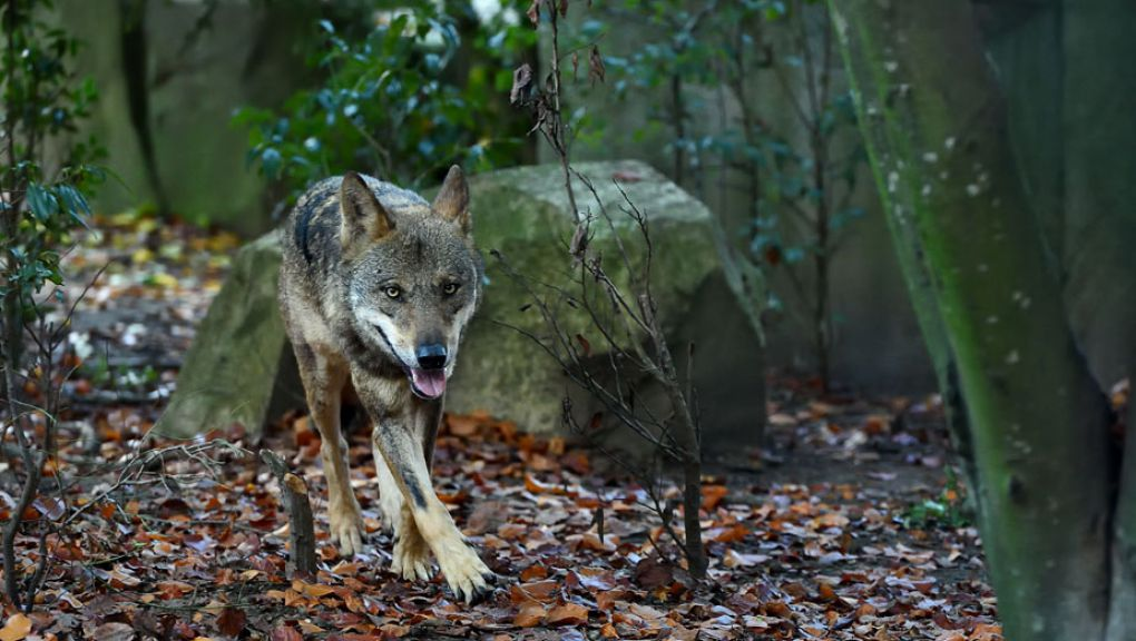 Loup ibérique du Parc Zoologique de Paris © MNHN - François-Gilles Grandin