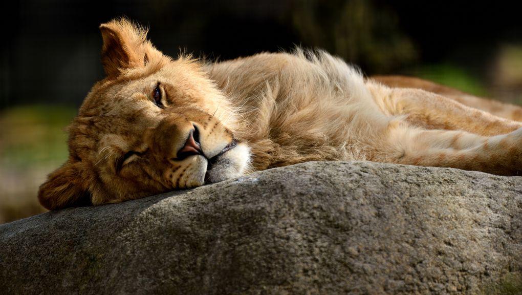 Lion dans son enclos © MNHN - F-G Grandin