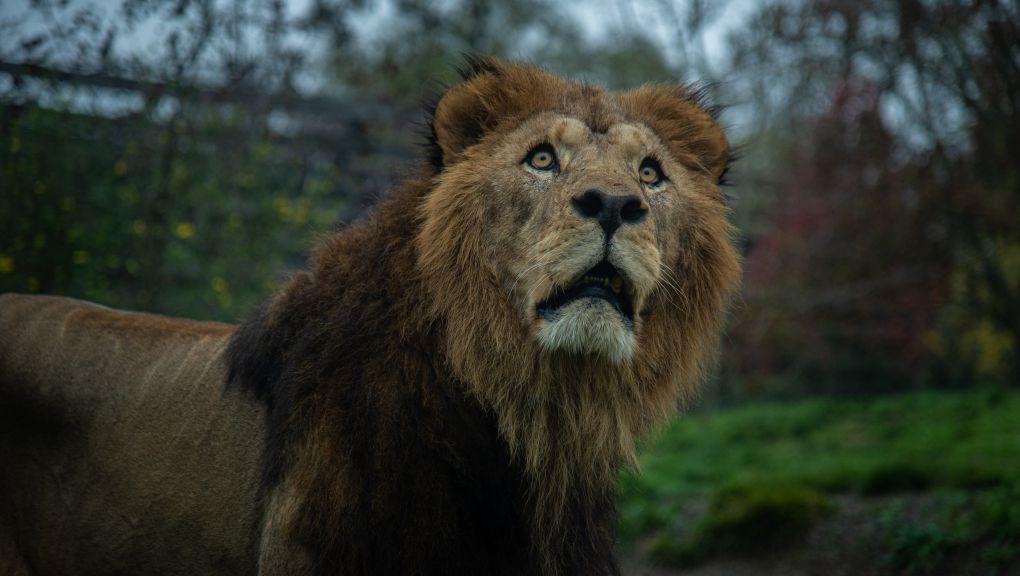 Première sortie pour le lion Volcan © MNHN - F.-G. Grandin
