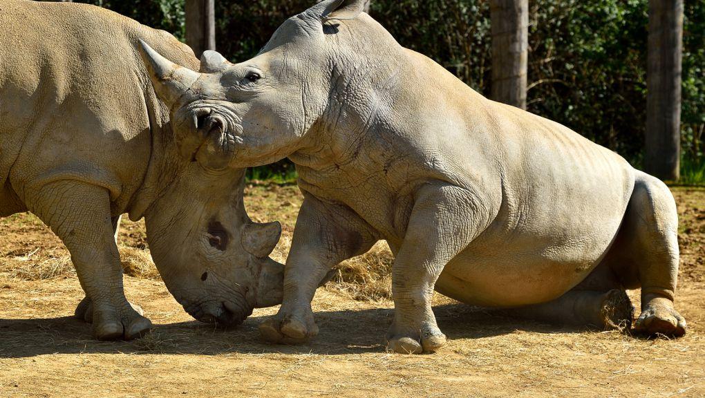 Rhinocéros blancs du Parc zoologiques de Paris © MNHN - F-G Grandin