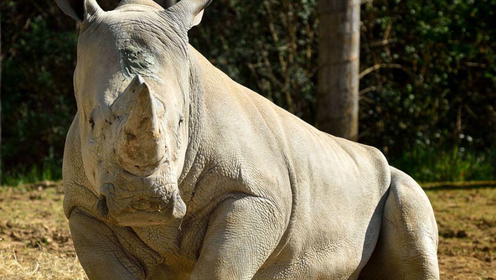 Rhinocéros blanc au Parc Zoologique de Paris © MNHN - François-Gilles Grandin