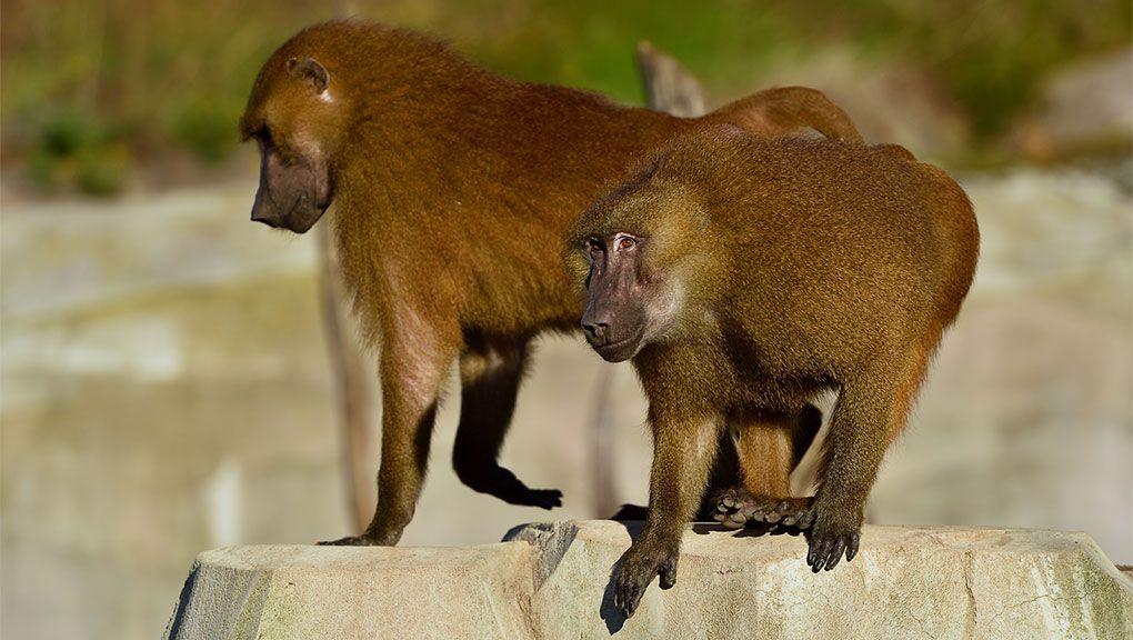 Babouins de Guinée © MNHN - F.G. Grandin