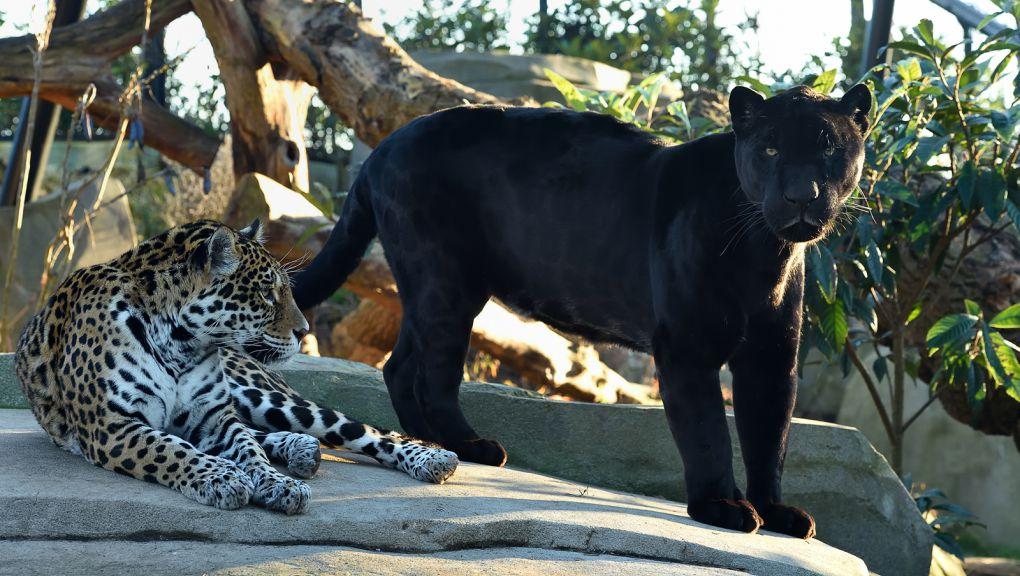 Le couple de jaguars © MNHN - F-G Grandin