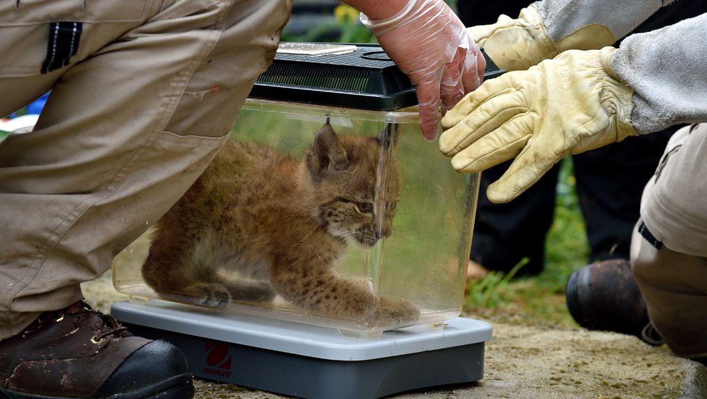 Pesée et sexage des jeunes lynx © MNHN - François-Gilles Grandin