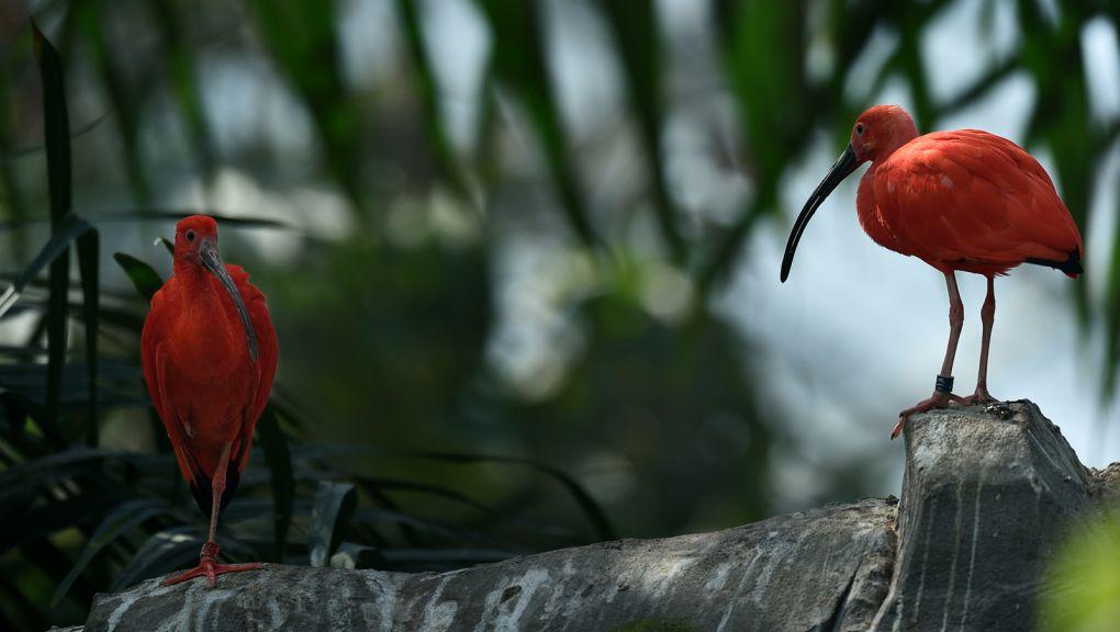 Ibis rouge © MNHN - F-G Grandin