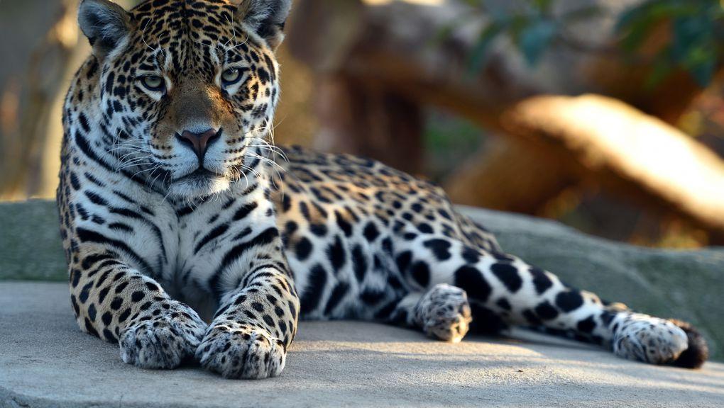 Simara, la jaguar femelle © MNHN - F-G Grandin