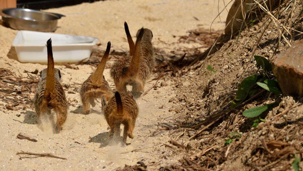 Les suricates explorent leur nouvel enclos. MNHN - FG. GRANDIN