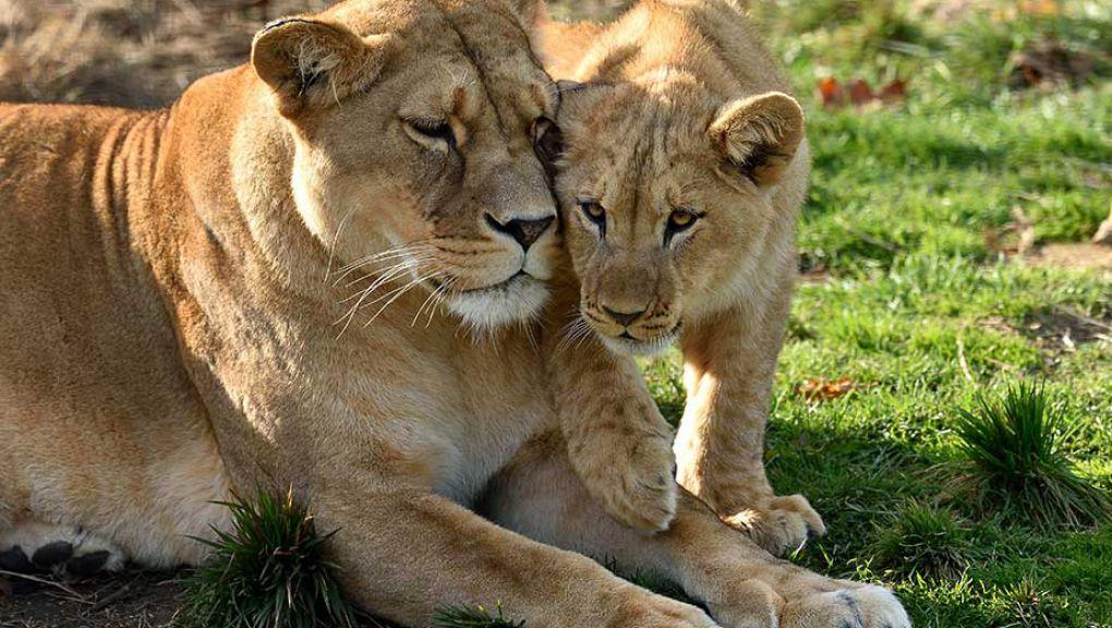 Lions d'Afrique © MNHN - François-Gilles Grandin