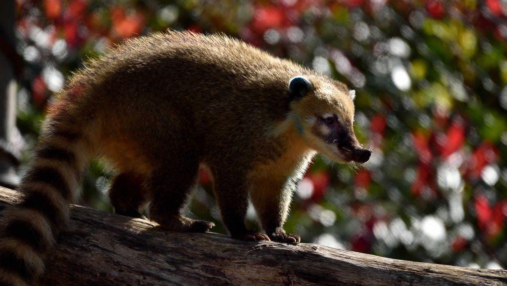 Coati roux © MNHN - F-G. Grandin