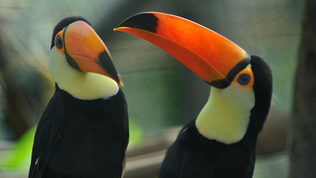 Toucan toco © MNHN - F.-G. Grandin