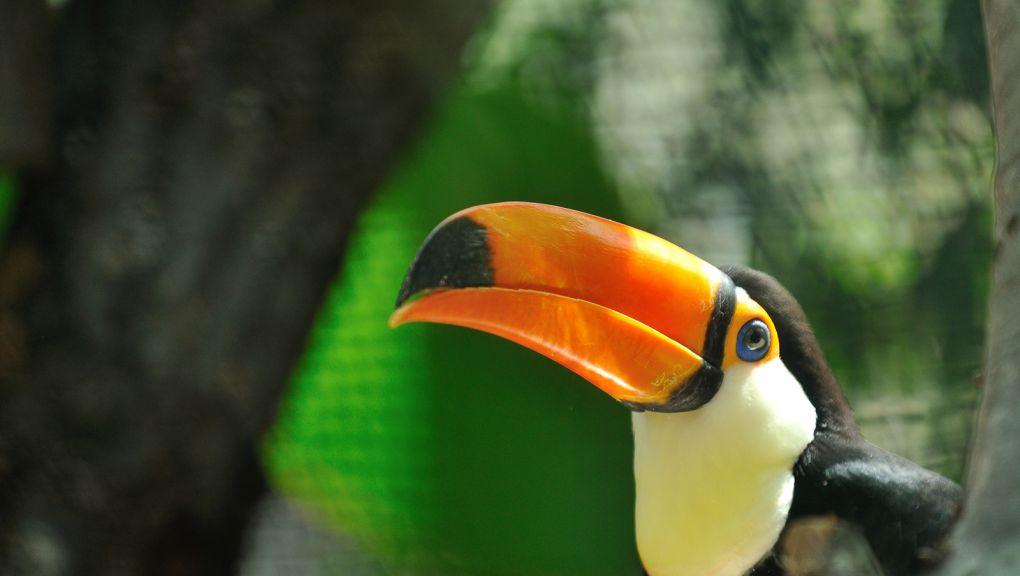 Toucan © MNHN - F-G Grandin