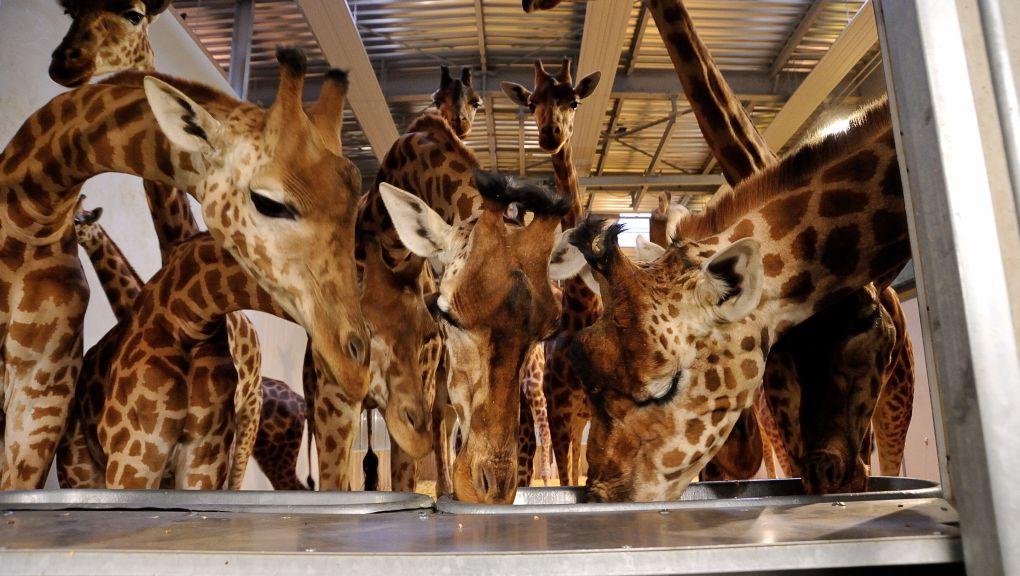 Dégustation de barbotine : le régal des girafes