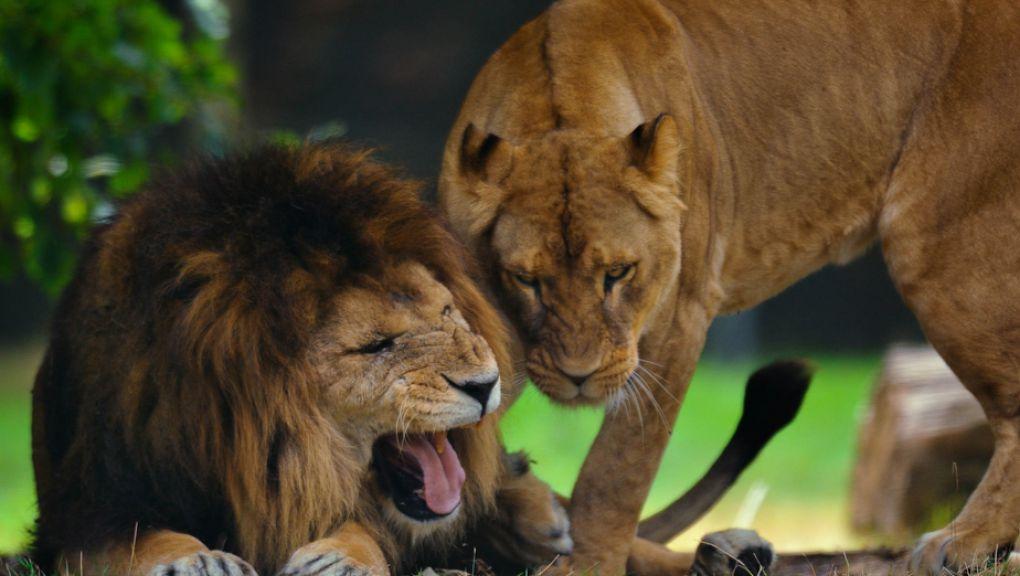 Lion d'Afrique, mâle © MNHN - François Grandin