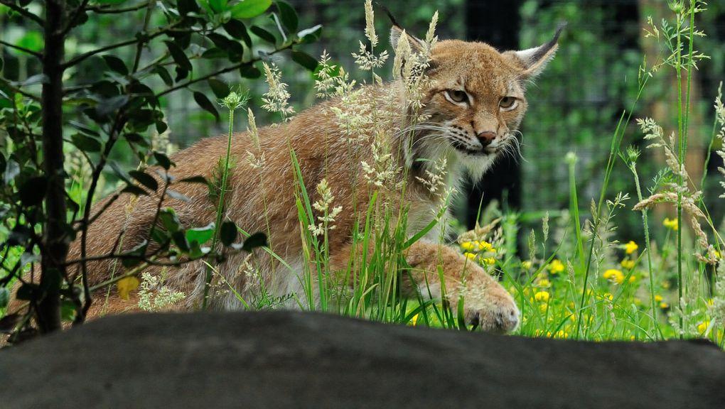 Lynx de Scandinavie