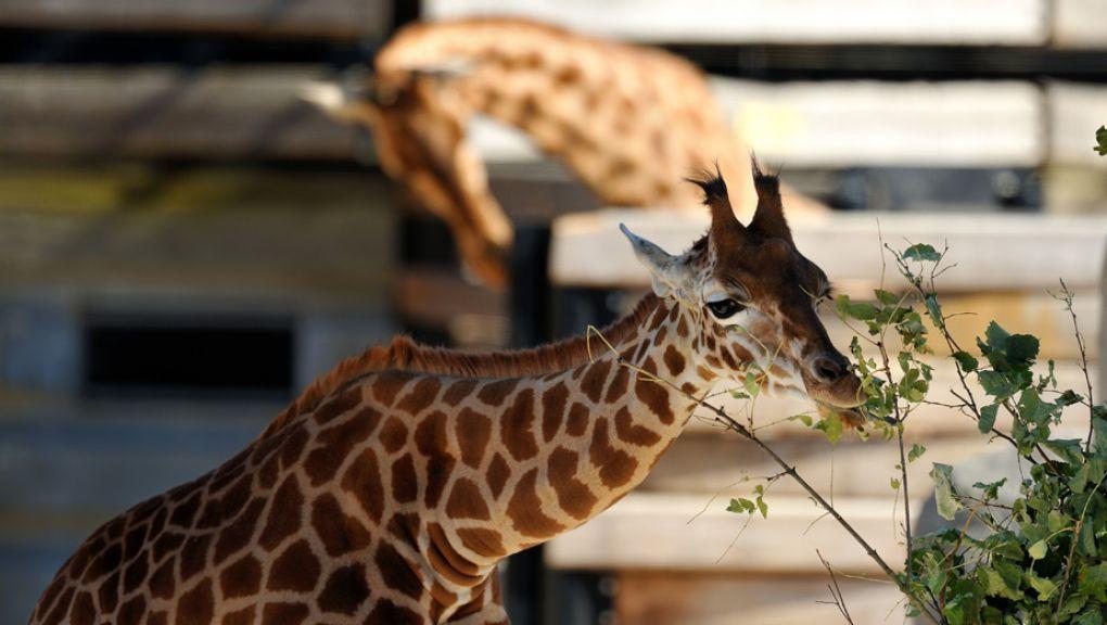 Girafe d'Afrique de l'Ouest dans la Biozone Sahel-Soudan © MNHN - F-G Grandin