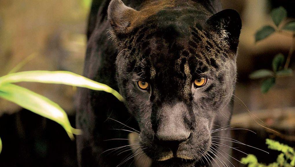 Aramis, le jaguar noir