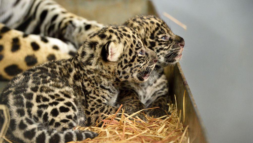 Les jeunes jaguars dans leur loge avec leur mère © MNHN - F-G Grandin