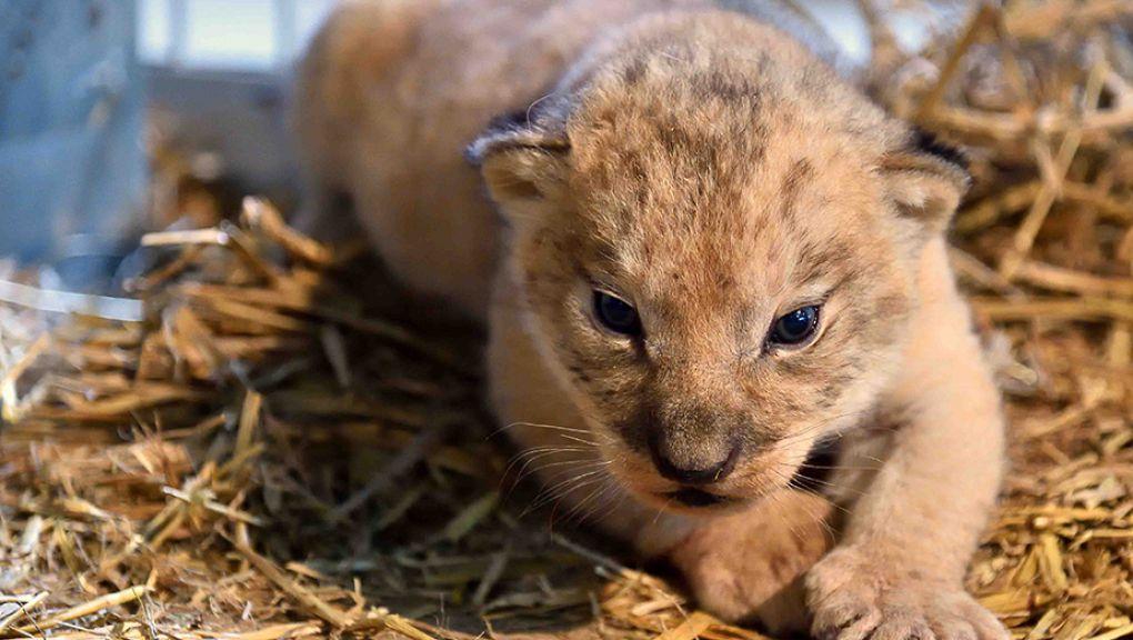 Kibo, le lionceau © MNHN - F-G Grandin