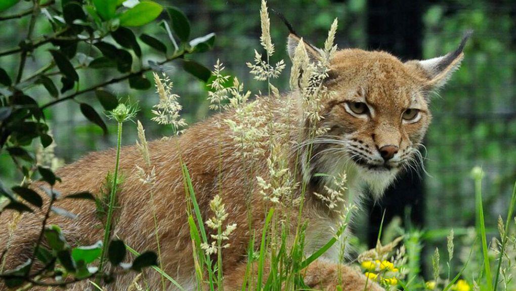 Lena, la lynx de Scandinavie © MNHN - F-G Grandin