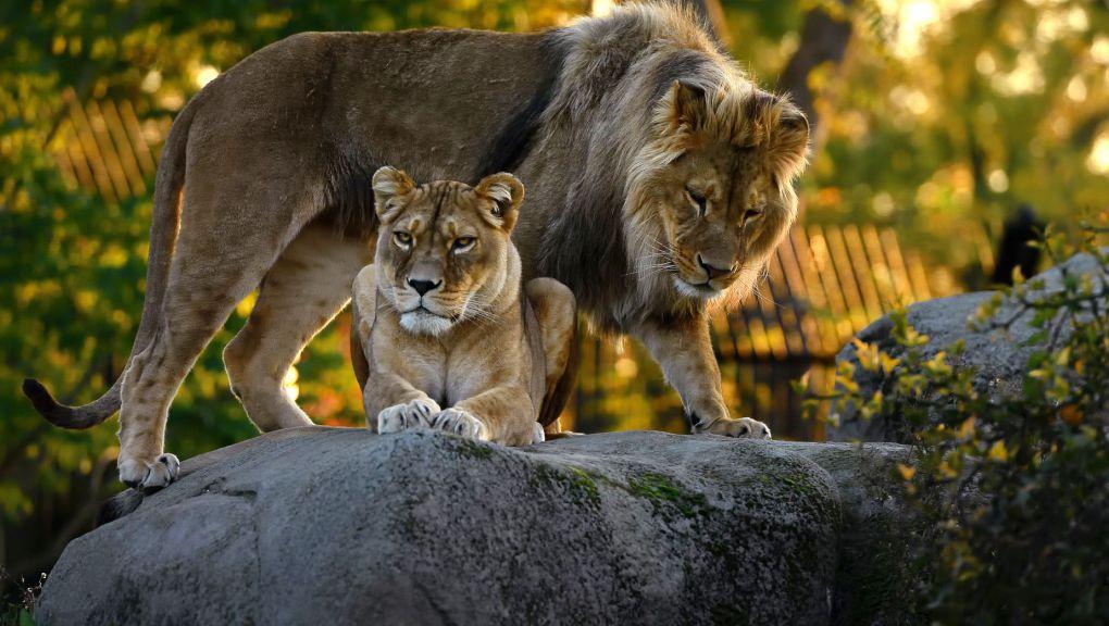 Lions © MNHN - F.-G. Grandin