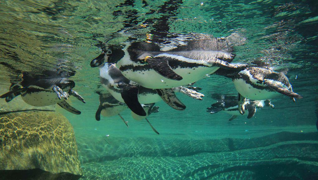 Manchots dans l'eau © MNHN - Manuel Cohen