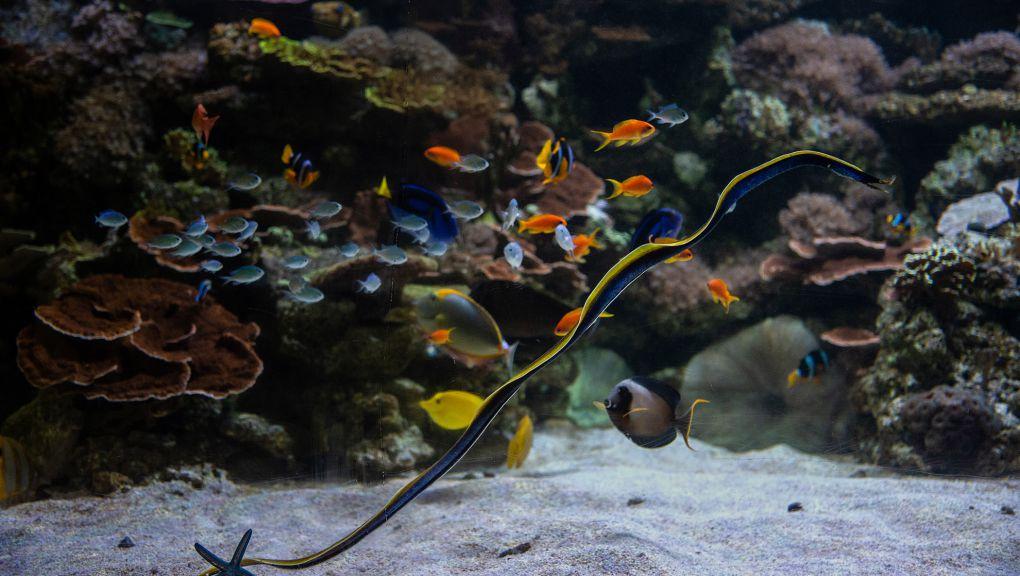 Murène ruban et étoiles de mer bleues dans l'aquarium récifal du Parc zoologique de Paris © MNHN – F.-G. Grandin
