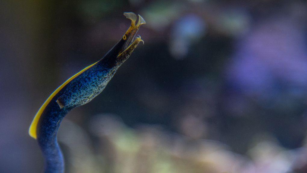 Murène ruban dans l'aquarium récifal du Parc zoologique de Paris © MNHN – F.-G. Grandin