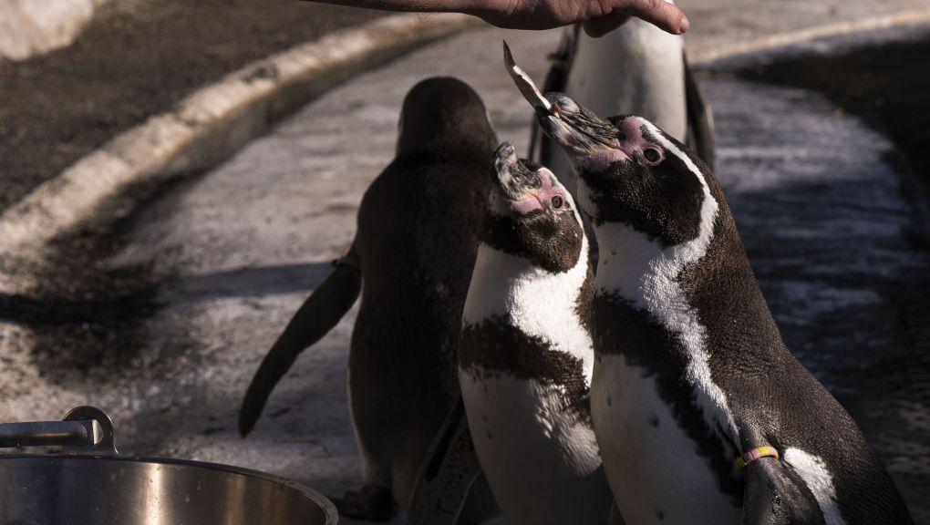 Nourrissage des manchots au Parc zoologique de Paris © MNHN - Agnès Iatzoura